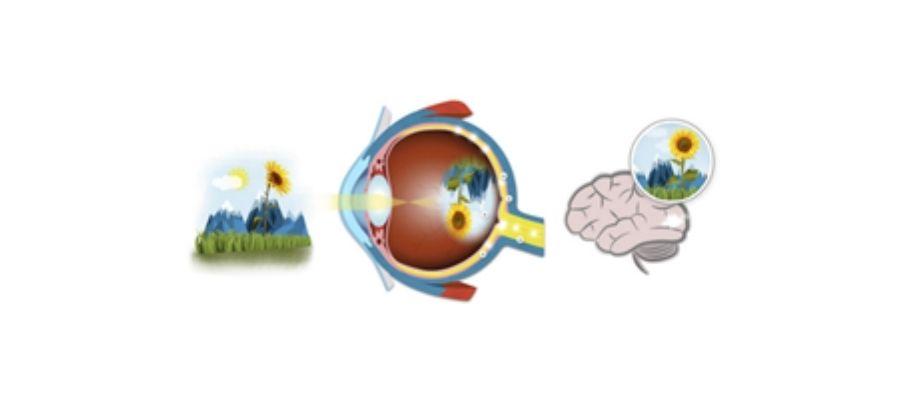 Visión del ojo humano
